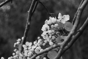 朝熊神社(皇大神宮 摂社)付近に咲くマメナシの花
