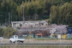 鹿海町公民館下に咲く桜の遠望