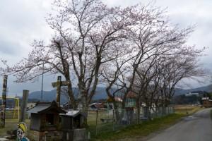 鹿海町公民館下の公園に咲く桜