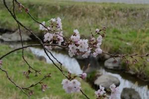 五十鈴川の桜