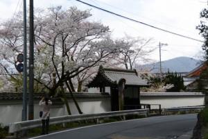 オヤネザクラと国史跡旧豊宮崎文庫の練塀と門