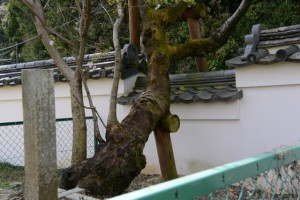 オヤネザクラと国史跡旧豊宮崎文庫の練塀
