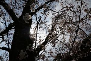 国史跡旧豊宮崎文庫の桜