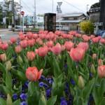 チューリップも可愛い、宮崎お花畑(御木本道路 岡本一丁目交差点付近)