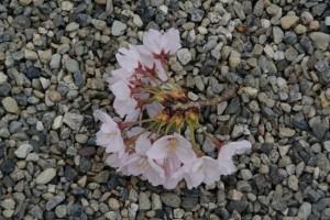 有田神社の桜(伊勢市小俣町湯田)