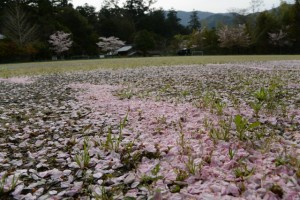 旧滝原小学校のの桜(大紀町)