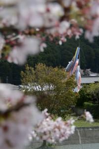 小川橋(奥河内川)から望む鯉のぼり