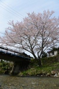 奥河内川から見上げる小川橋付近の桜