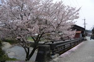 小川橋(奥河内川)付近の桜