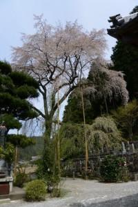 不盡山 龍祥寺の枝垂れ桜(大紀町阿曽)
