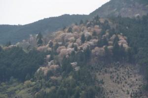 落瀬橋(大内山川)から遠望した山の桜