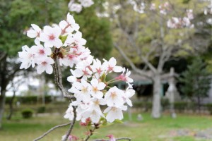 御薗神社の桜(伊勢市御薗町王中島)