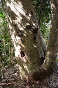 ミツバチが住む木の虚(明神社)