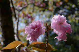 山桜(石山観音公園)