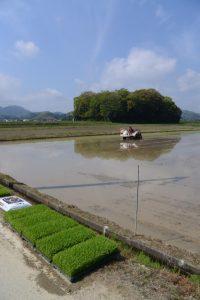 朽羅神社(皇大神宮 摂社)付近での田植え