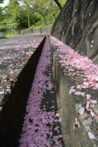 名残りの桜(津市立長野小学校付近)