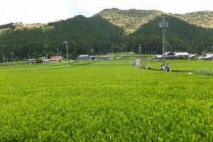 昼食のために熊野古道伊勢路から外れて神瀬の新茶畑へ