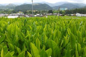 神瀬の新茶畑(大台町神瀬)