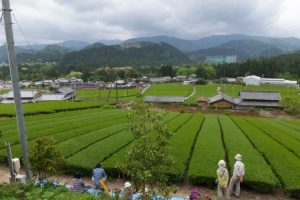 ナカニシウジノカミが見下ろす茶畑(大台町神瀬)
