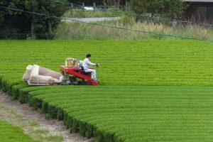 茶摘みに忙しい新茶畑(大台町神瀬)