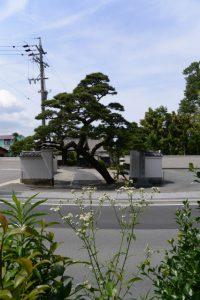 等観寺の入口で斜めに立つ松の木(伊勢市八日市場町)