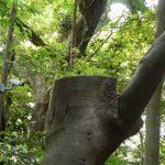 大津神社(豊受大神宮 末社)付近、切り落とされた幹
