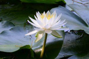 朧ヶ池に咲くスイレン(伊勢市船江)