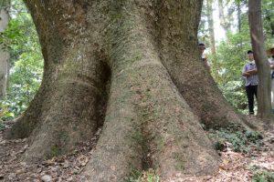 久具都比賣神社の社域に立つクスノキの巨木