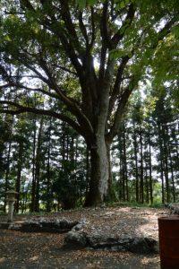 旧大野木神社に残された御神木のクスノキ(度会町大野木)