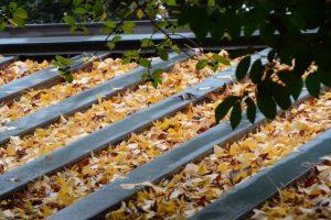 イチョウの葉が降り積もる拝殿の屋根、須原大社(伊勢市一之木)