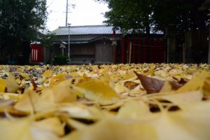 イチョウの葉のじゅうたんが敷き詰められた須原大社(伊勢市一之木)