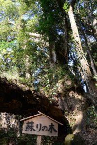蘇りの木、神内神社(南牟婁郡紀宝町神内)