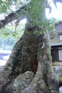 「安産樹(ホルトの木)」、神内神社(南牟婁郡紀宝町神内)
