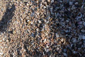 青島を形作る貝殻