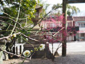 境内の梅の木、白と桃(須原大社)