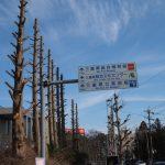 枝を落とされたメタセコイア(旧三重県立博物館前)