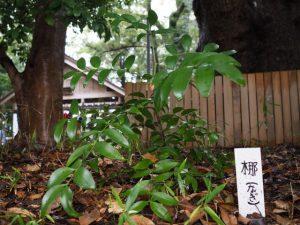 梛の木、船江上社(伊勢市船江)