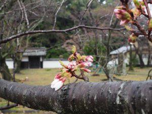 咲き始めのオヤネザクラ(国史跡旧豊宮崎文庫)