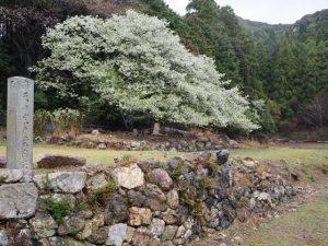 「家建の茶屋跡」のオオシマザクラ(志摩市磯部町恵利原)