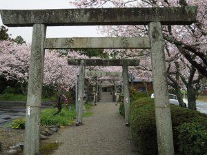 サクラ、有田神社(伊勢市小俣町湯田)