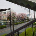 サクラ、小俣小学校(伊勢市小俣町元町)