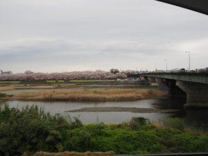 車中から望んだ宮川堤のサクラ