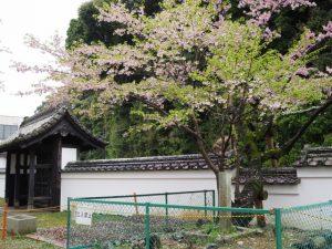 国史跡旧豊宮崎文庫とオヤネザクラの一般公開