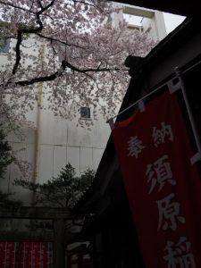 サクラ、須原大社(伊勢市一之木)