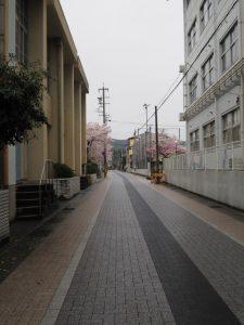 サクラ、厚生小学校付近(神路通)