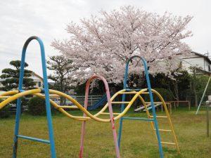 サクラ、王中島児童公園(伊勢市御薗町王中島)