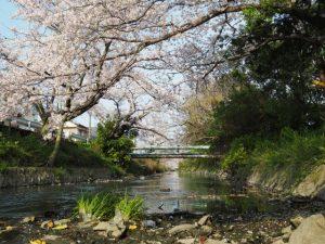 サクラ、桧尻川(伊勢市)