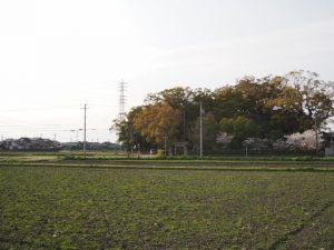 サクラ、御薗神社(伊勢市御薗町王中島)