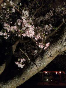 夜ザクラ、王中島公民館(伊勢市御薗町王中島)