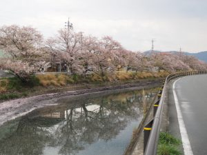 サクラは花を散らした桧尻川(伊勢市)